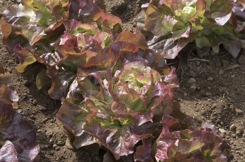 Red Cross Organic Lettuce Seed - 20 seeds