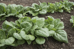 Seaside (F1) Spinach Seed - 20 seeds