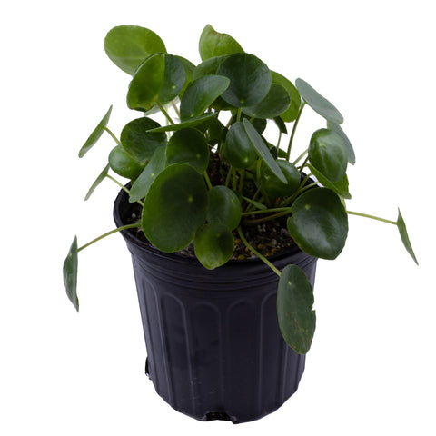 Chinese Money Plant - Pilea peperomioides - 1 gallon