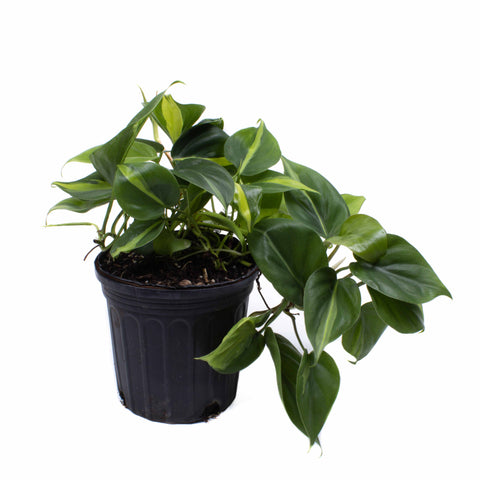Philodendron Brasil - Philodendron hederaceum 'Brasil' - 1 gallon