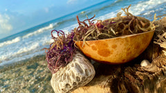 Jamaican Purple Sea Moss by the sea in a calabash