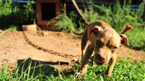 dog fighting ring busted