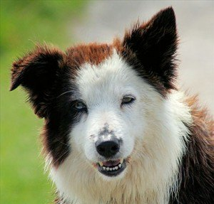 Border collie can understand over 1000 words