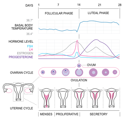Estrogen & Progesterone During the Menstrual Cycle