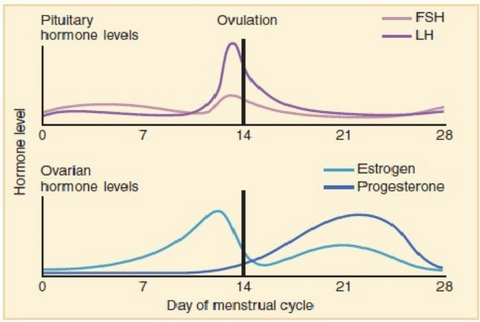 how your hormones change over your ovulation cycle