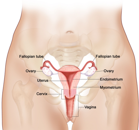 womans anatomy - cervix placement
