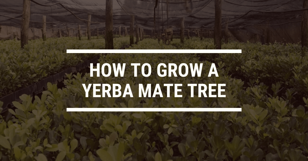 How to Grow a Yerba Mate Tree
