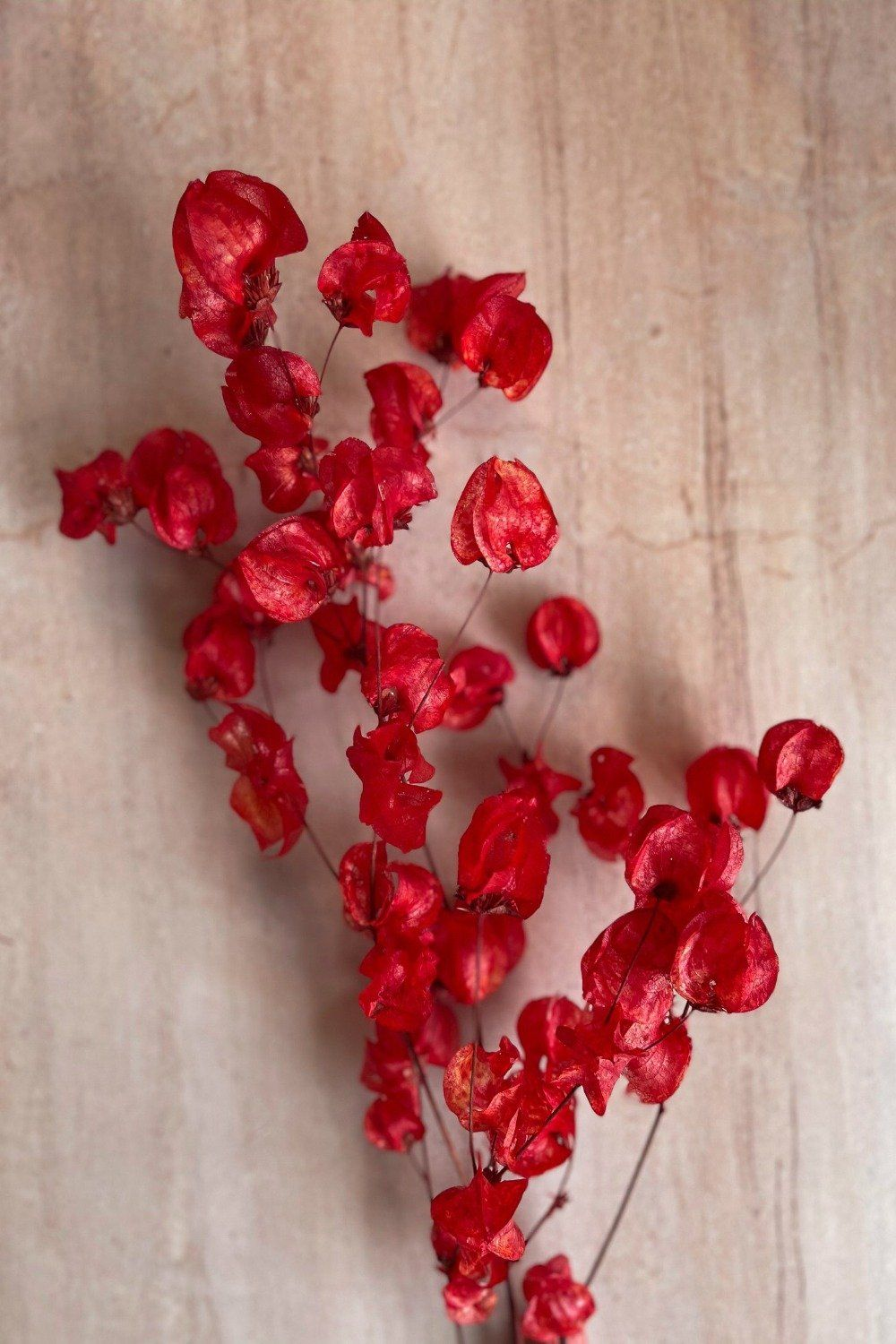 Dried Bougainvillea - Red Dried Flowers Blume