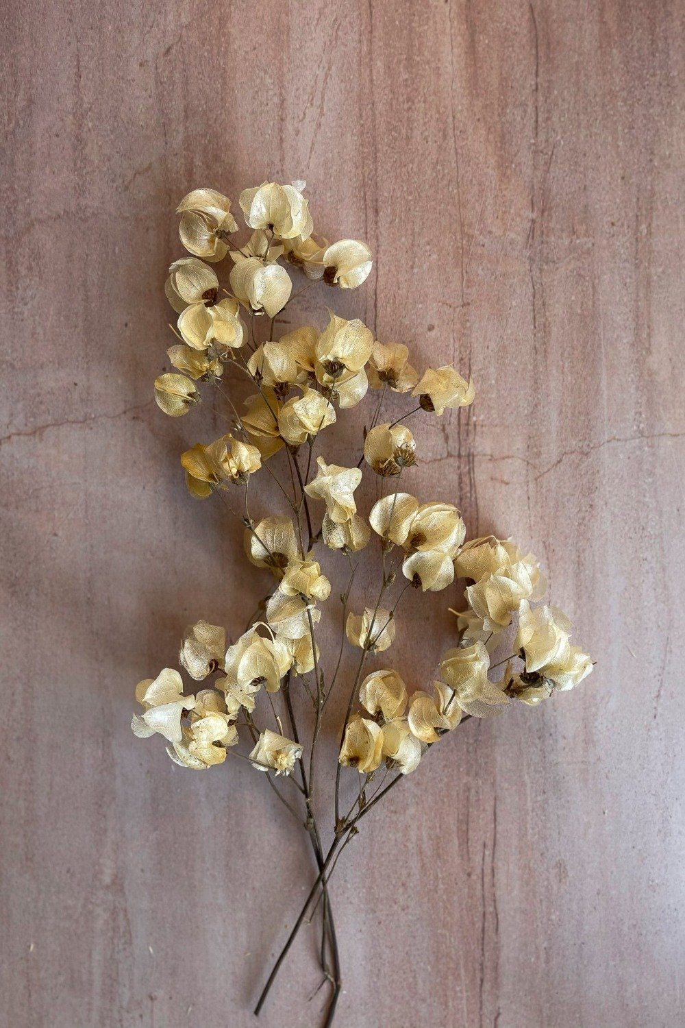 Dried Bougainvillea - White Dried Flowers Blume