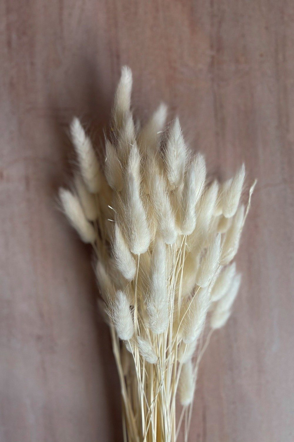 Dried Bunny Tails Bunch - White Dried Flowers Blume
