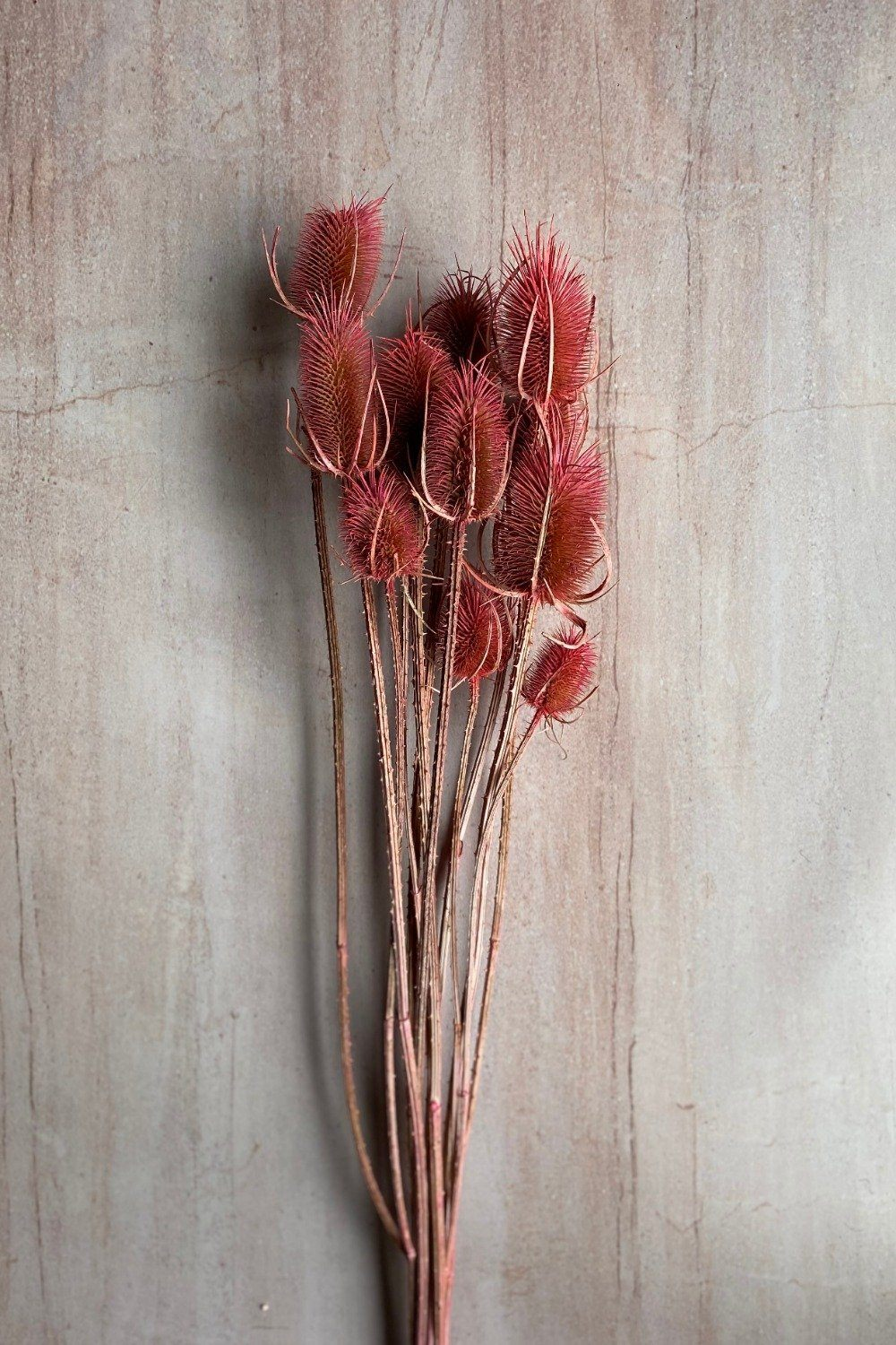 Dried Coral Thistle Bunch Dried Flowers Blume