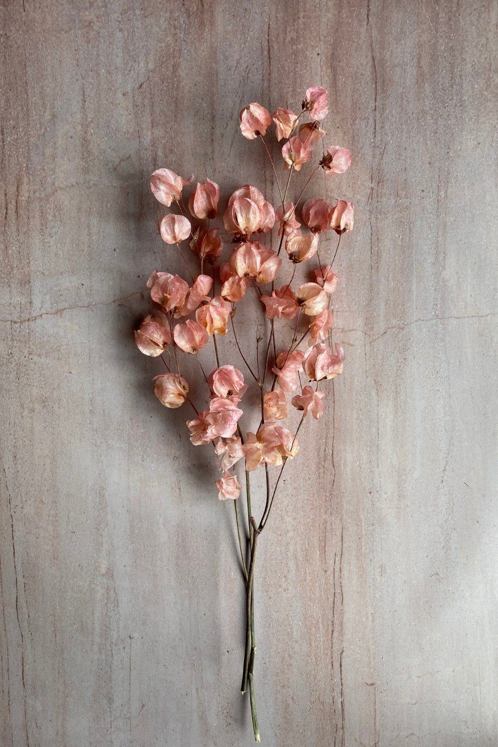 Dried Peach Bougainvillea Bunch Dried Flowers Blume