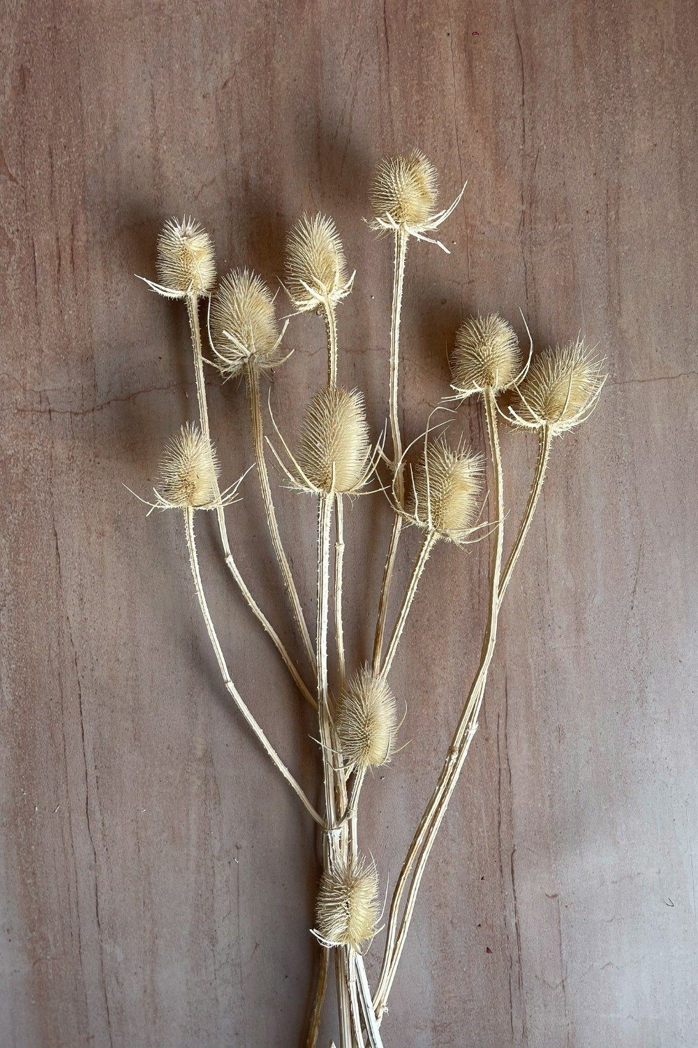 Dried Thistle Bunch - White Dried Flowers Blume