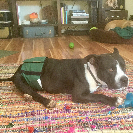 Happy Tails - Domino the miracle Pit Bull