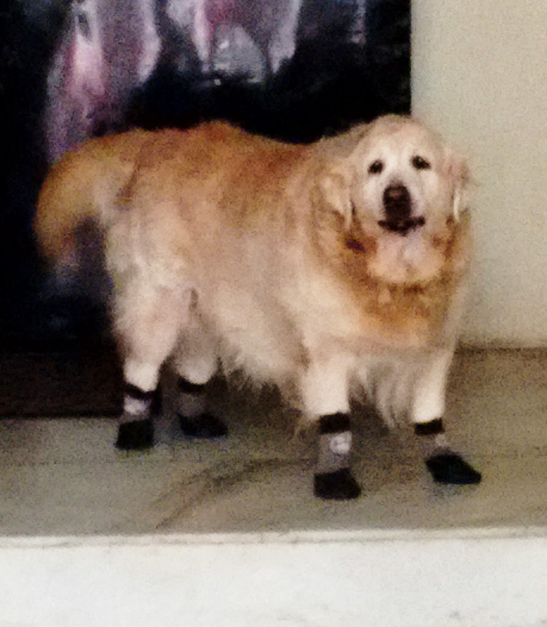 Grippers dog socks