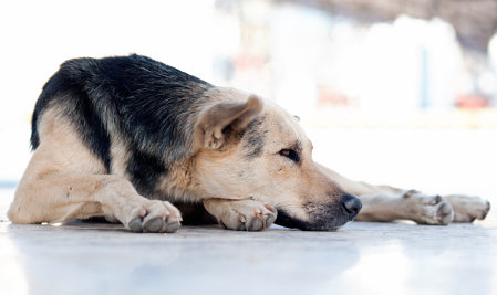 Treating Dog Arthritis