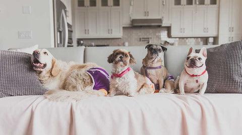 Four dogs on a couch in diapers