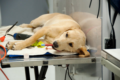 Reducing the Risks of Anesthesia in Senior Dogs