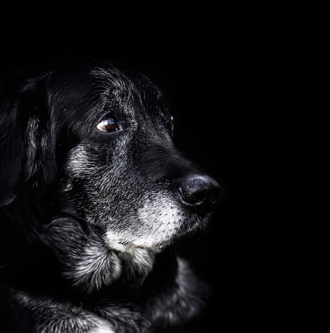 Canine Cognitive Dysfunction Syndrome