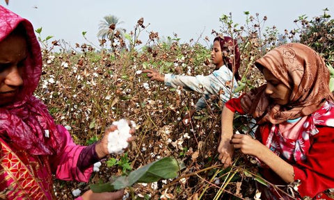 Picking Egyptian Cotton