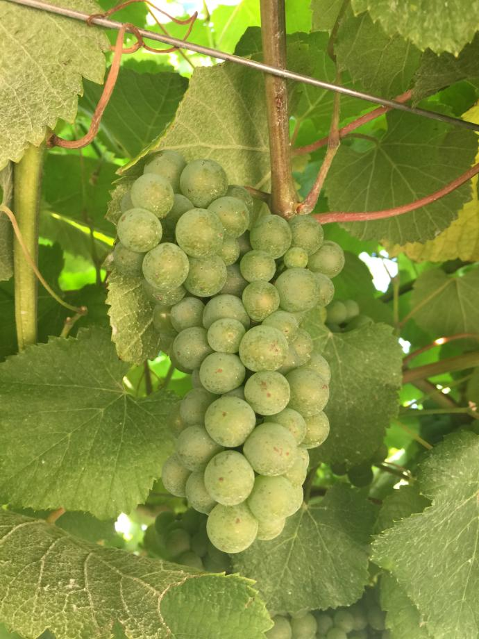 Bunch of Albariño grapes