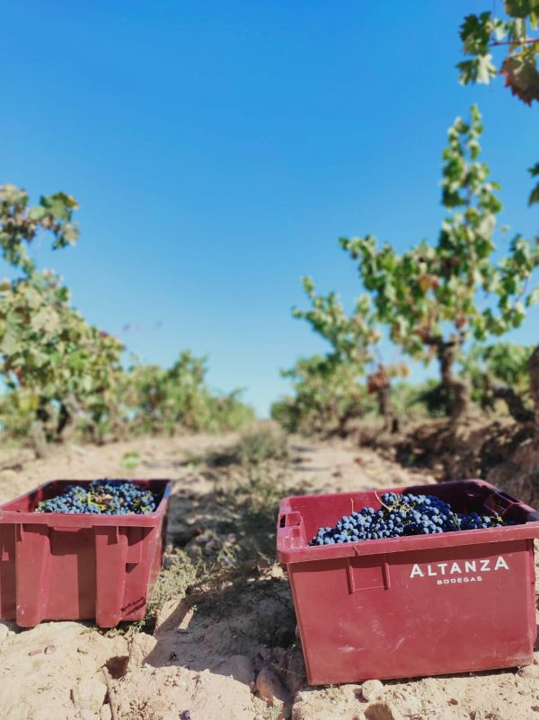 Containers of grapes under a blue sky in the vineyards at Bodegas Altanza, Rioja, Spain