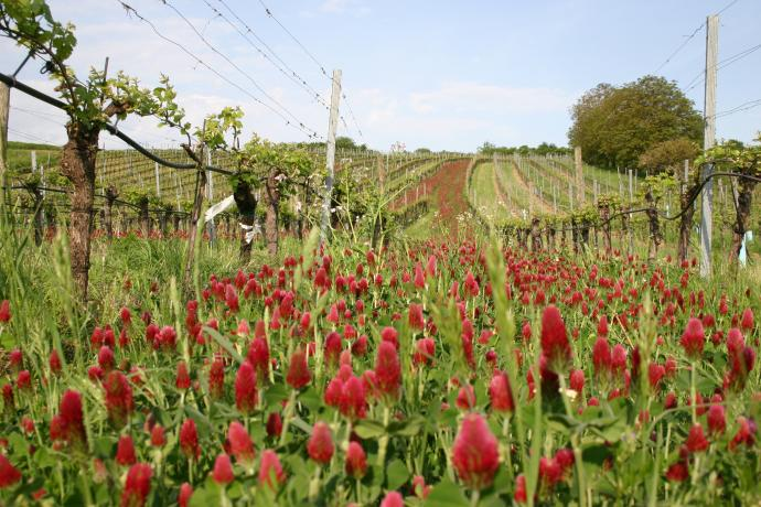 Haidviertel vineyards of Weingut Pfaffl