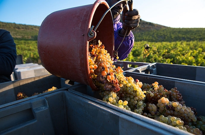 Grapes being harvested in the vines at Mas Amiel
