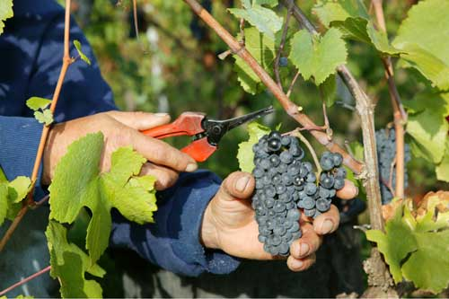Cutting grapes from the vine with secateurs