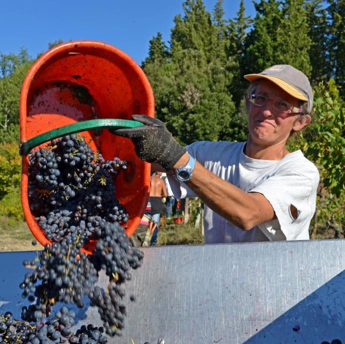 Worker tipping grapes into a bin at vintage time