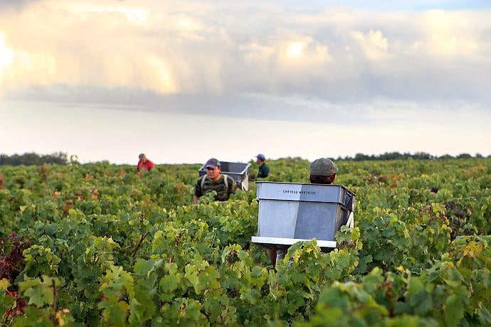 Workers with baskets for grapes in the vines at Château Montrose