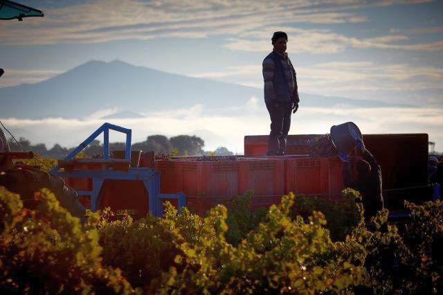 Harvest at Beaucastel