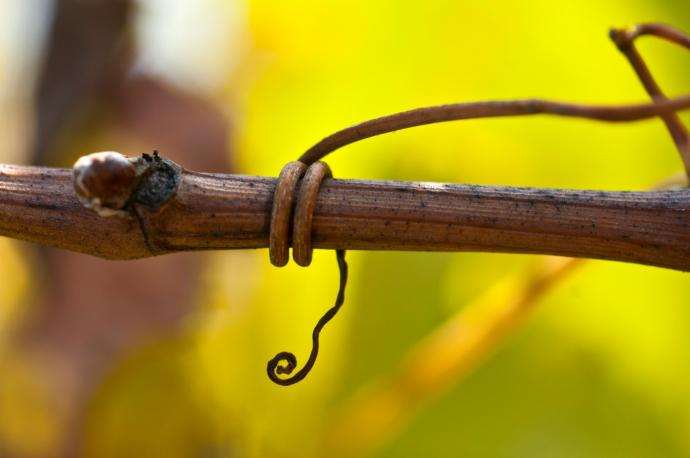 Vine tendril at Domaine Laurent Perrachon