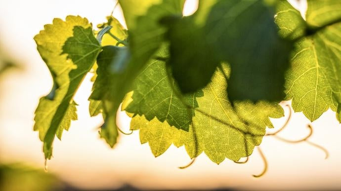 Vine leaf in the Perrin family vineyards