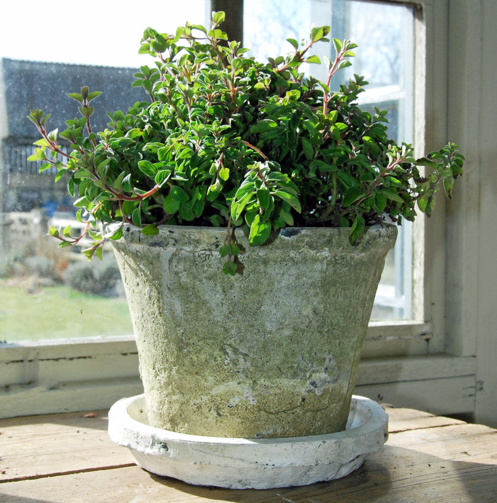 Large antiqued white stone plant pot with saucer