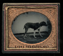 Load image into Gallery viewer, 1/6 Plate Ambrotype Photo of a Standing Dog - Great Antique Image, Late 1850s!