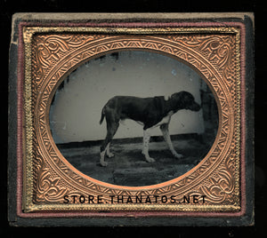 1/6 Plate Ambrotype Photo of a Standing Dog - Great Antique Image, Late 1850s!
