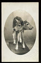 Load image into Gallery viewer, Freak Calf - Antique Taxidermy / Oddities Photo