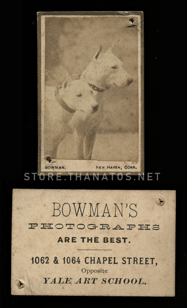 Rare Miniature Format White Pit Bull Dogs on Leash CDV Photo - Yale Art School