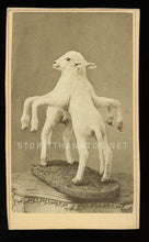 Load image into Gallery viewer, Rare CDV of  Freak / Conjoined LAMB - Taxidermy, Sideshow, Barnum Int