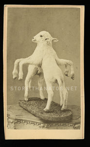 Rare CDV of  Freak / Conjoined LAMB - Taxidermy, Sideshow, Barnum Int