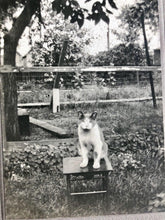 Load image into Gallery viewer, Antique 1900s CAT Cabinet Photo - Posed Alone Outside On Stool