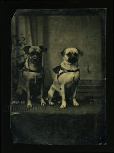 Antique Tintype Photo Two Pug Dogs in American Folk Art Bead Frame