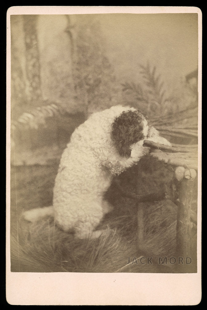 Unusual 1800s Photo Pet Trick Circus Poodle Dog Praying on Chair / Pennsylvania