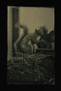 Very Rare Antique Tintype Taxidermy Squirrel in Mirror!