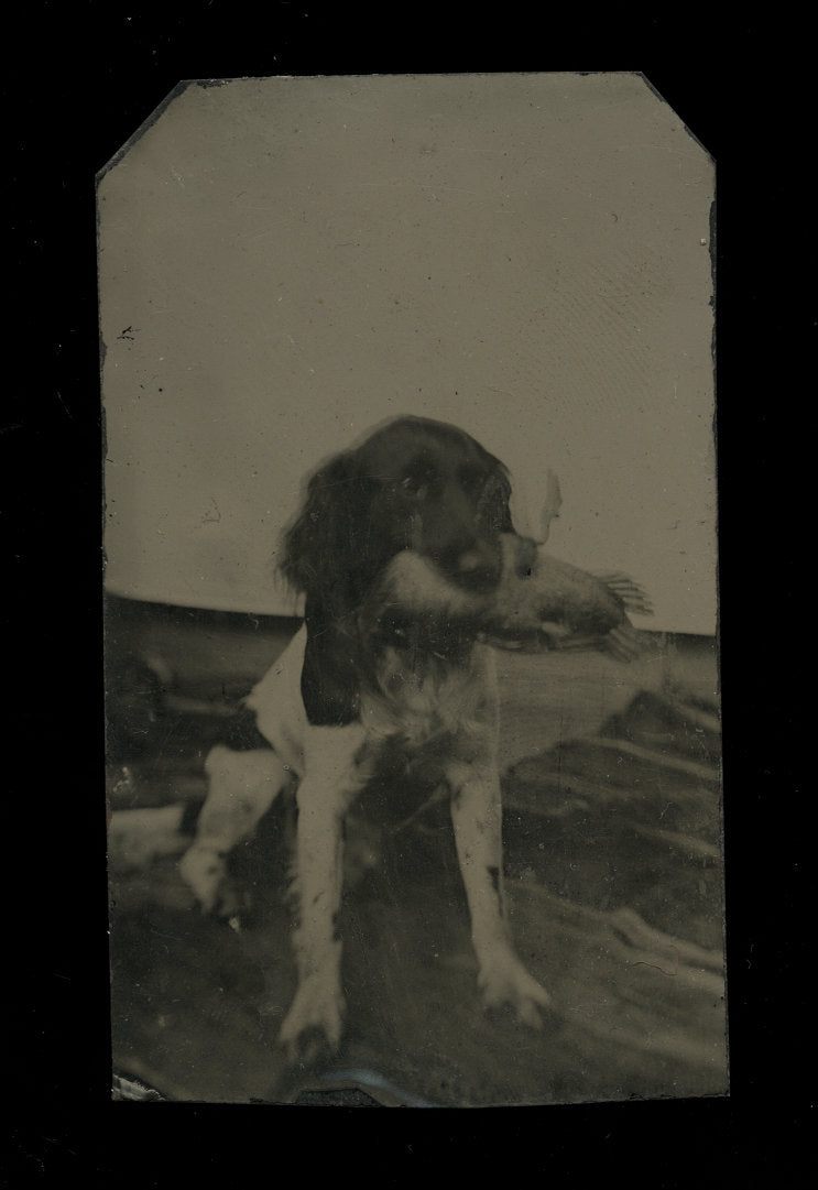 Hunting Dog Springer Spaniel Holding Game Bird or Duck - 1860s 1870s Pet Tintype
