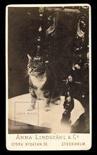 Load image into Gallery viewer, Antique / Victorian Era Photo - Tabby Cat from Stockholm Sweden! Pioneering Lady Photographer