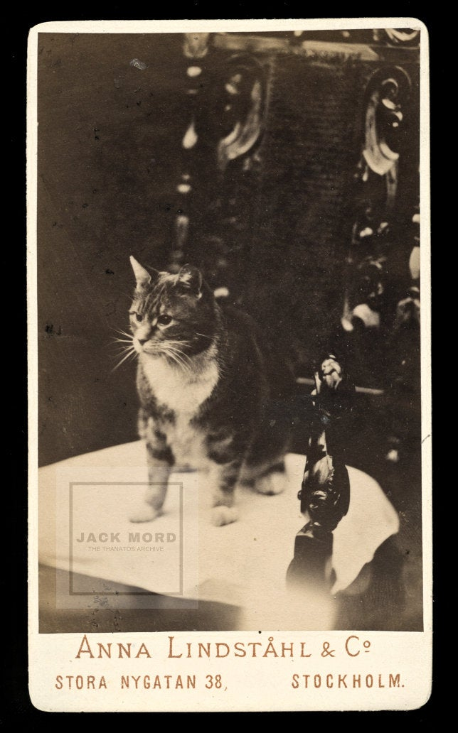 Antique / Victorian Era Photo - Tabby Cat from Stockholm Sweden! Pioneering Lady Photographer