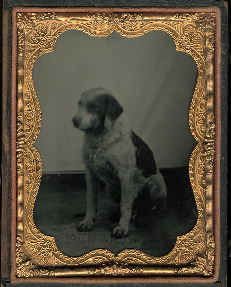 1/4 Plate Ambrotype Photo of a Spotted Dog - Antique Image, Late 1850s!