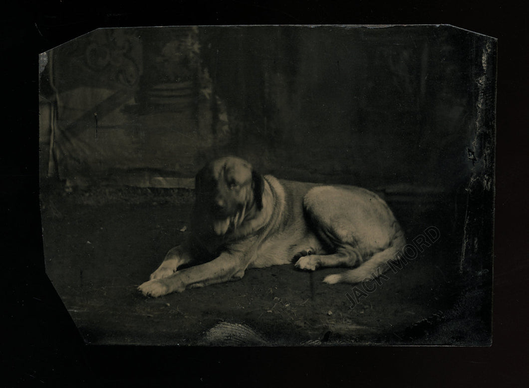 Excellent 1870s / 1880s Tintype Photo of a Happy Dog
